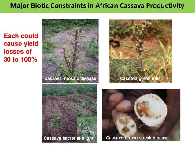 Cassava brown streak diseaseCassava bacterial blight Cassava mosaic disease Cassava green mite Each could cause yield loss...