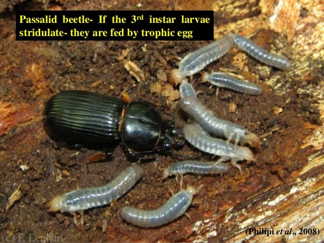 Egg dumping and parental care in insects