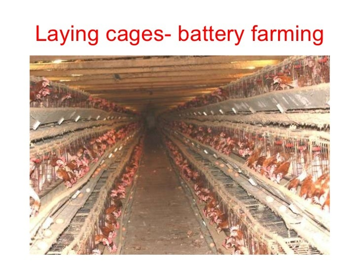 Laying cages- battery farming