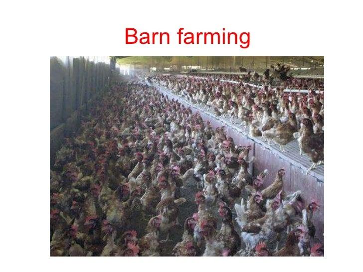 Barn eggs Barn farming