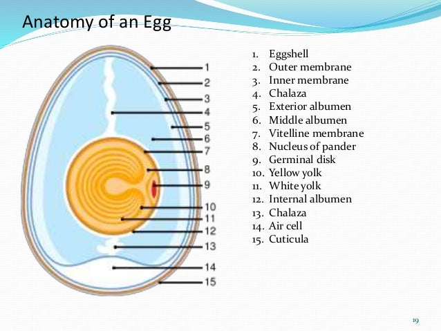 Egg Structure And Chemical Composition