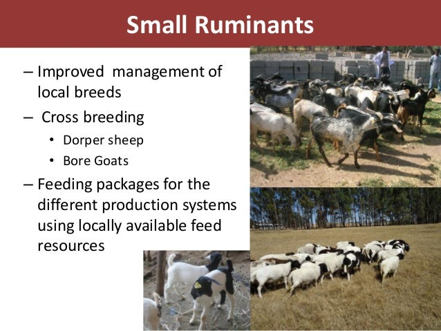 Small Ruminants– Improved management of  local breeds– Cross breeding   • Dorper sheep   • Bore Goats– Feeding packages fo...