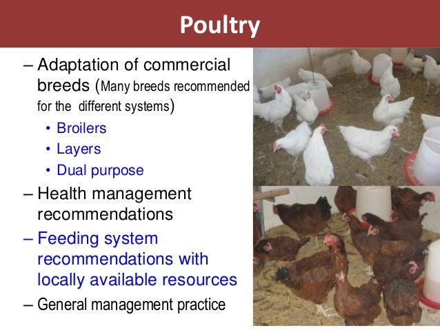 Poultry– Adaptation of commercial  breeds (Many breeds recommended  for the different systems)   • Broilers   • Layers   •...