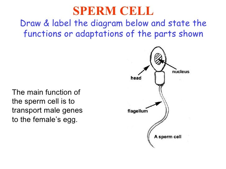 All about inheritance and selection sperm cell draw label the diagram ccuart Images