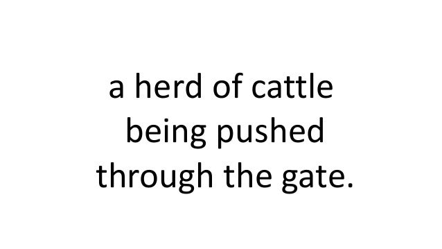 a herd of cattle being pushed through the gate.