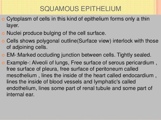 SQUAMOUS EPITHELIUM  Cytoplasm of cells in this kind of epithelium forms only a thin layer.  Nuclei produce bulging of t...