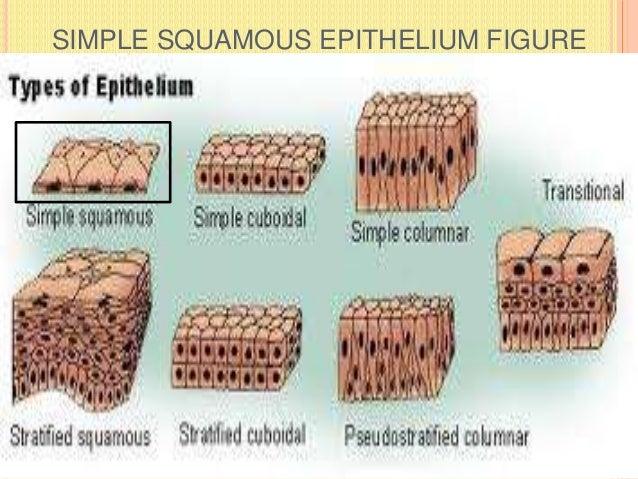 SIMPLE SQUAMOUS EPITHELIUM FIGURE