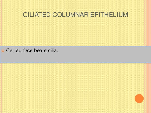 CILIATED COLUMNAR EPITHELIUM  Cell surface bears cilia.