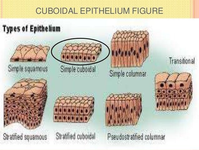 CUBOIDAL EPITHELIUM FIGURE