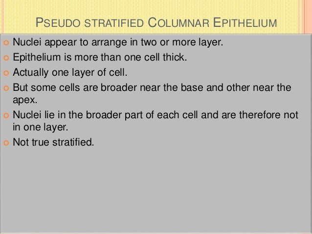 PSEUDO STRATIFIED COLUMNAR EPITHELIUM  Nuclei appear to arrange in two or more layer.  Epithelium is more than one cell ...