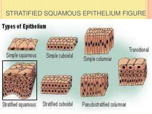 STRATIFIED SQUAMOUS EPITHELIUM FIGURE