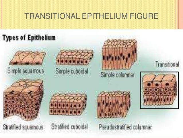 TRANSITIONAL EPITHELIUM FIGURE