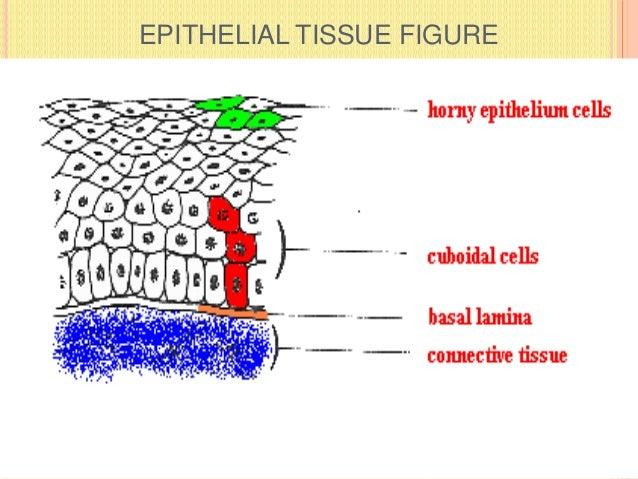 EPITHELIAL TISSUE FIGURE
