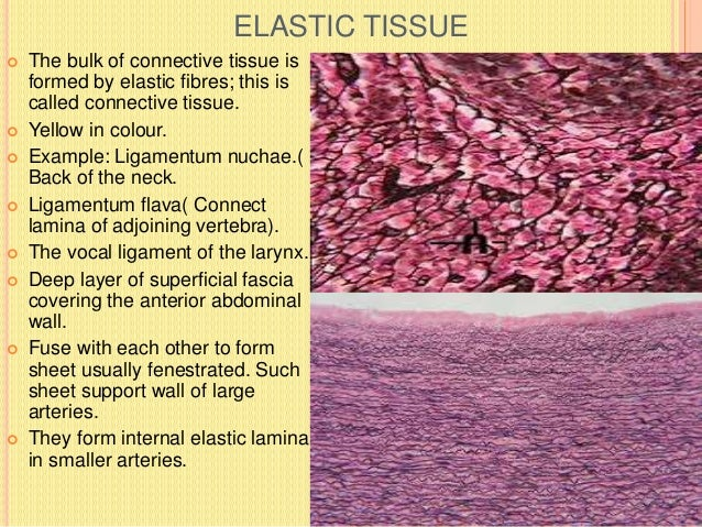 FIBRES OF CONNECTIVE TISSUE  COLLAGEN FIBRES-: Seen in bundles, straight or wavy. The bundle are made up of collection of...