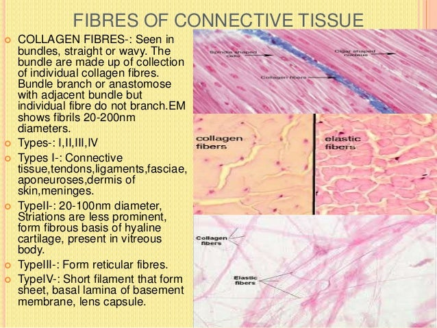 ELASTIC FIBRES  In areolar tissue fibres are much fewer.  They run singly not in bundles.  Branch and anastomose with o...