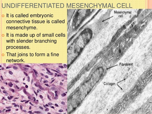 FAT CELLS  Are called adipocytes.  Some amount of fat may be present in cytoplasm.  Also called lipocytes.  Some cell ...
