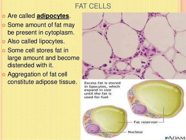 MAST CELL  Small, rounded, oval cell also called mastocytes or histaminocytes.  Nucleus is small centrally placed irregu...