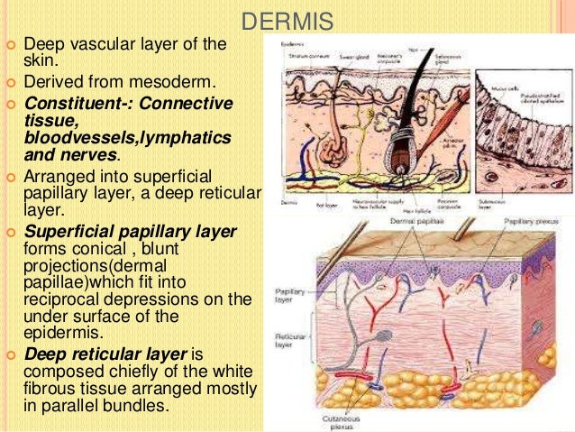 APPENDAGES OF SKIN  NAIL  HAIR  SWEAT GLAND  SEBACEOUS GLAND