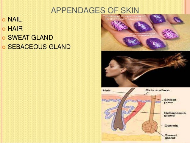 PARTS OF NAIL  The skin( germinative zone +corium) beneath the root and body of the nail is called nail bed. The germinat...