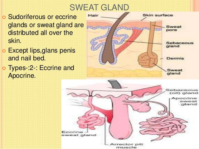 PARTS OF APOCRINE SWEAT GLAND  Confined to axilla, eyelids(Moll's glands , nipple and areola of the breast,perineal regio...