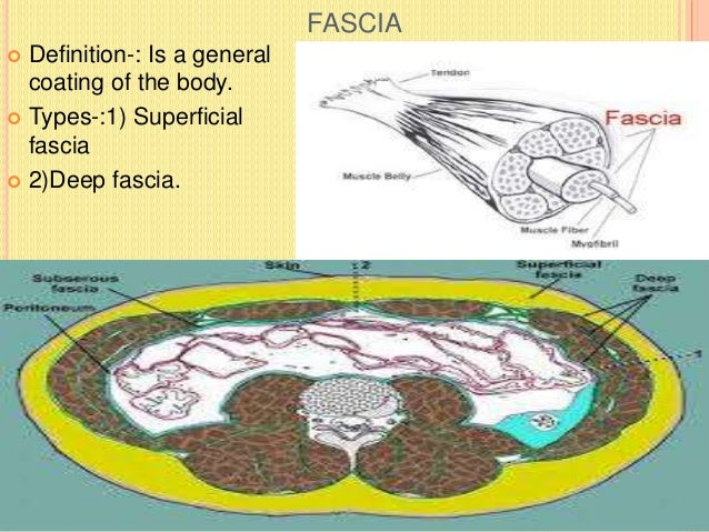 DEEP FASCIA  Definition-: Is a fibrous sheet which invests the body beneath the superficial fascia. It is devoid of fat, ...