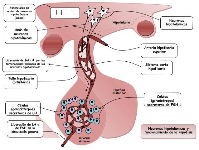 Potenciales de acción de neuronas    hipotalámicas       (pulsos)                                                         ...