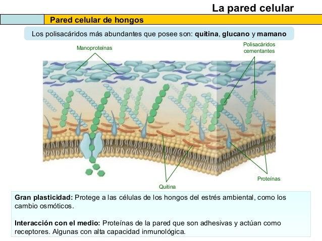 El citosol y las estructuras no membranosas de la c lula 2013 - Eliminar hongos de la pared ...