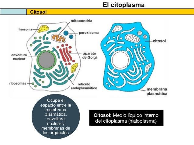 Citosol y citoplasma