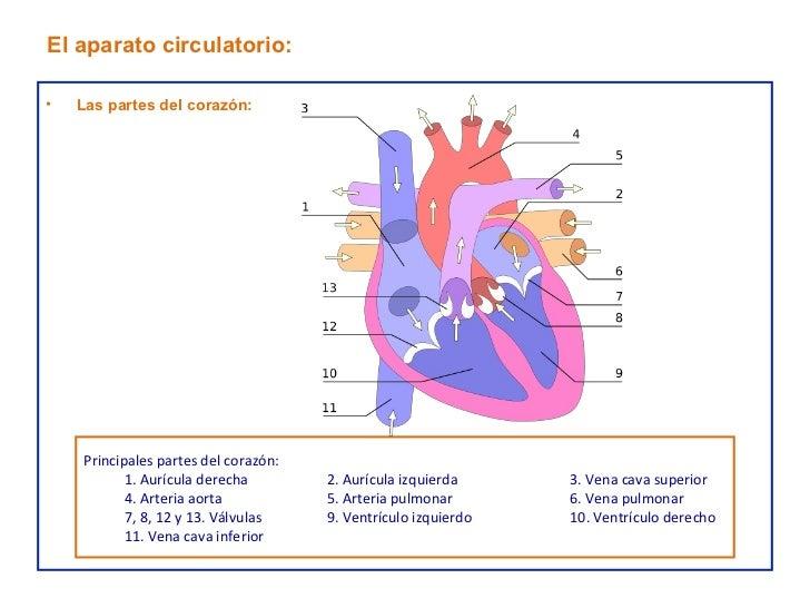 Hermosa Partes Del Corazón Motivo - Anatomía de Las Imágenesdel ...