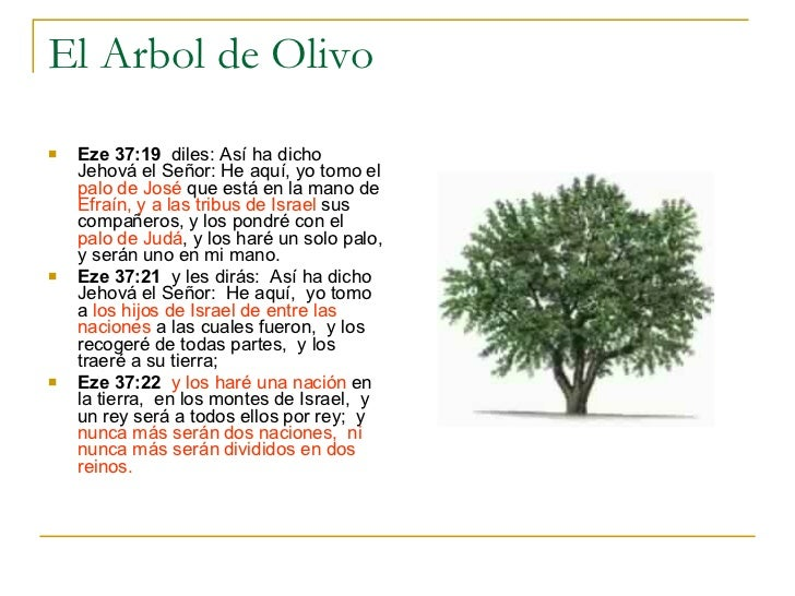 el arbol de olivo