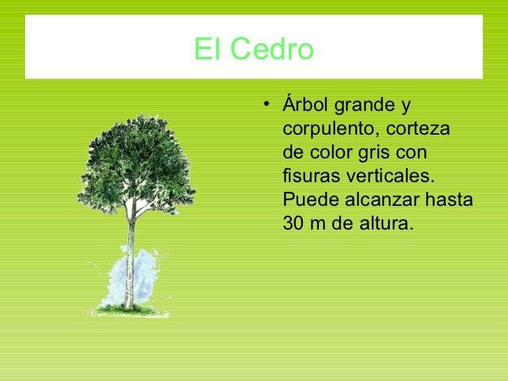 El Cedro <ul><li>Árbol grande y corpulento, corteza de color gris con fisuras verticales. Puede alcanzar hasta 30 m de alt...