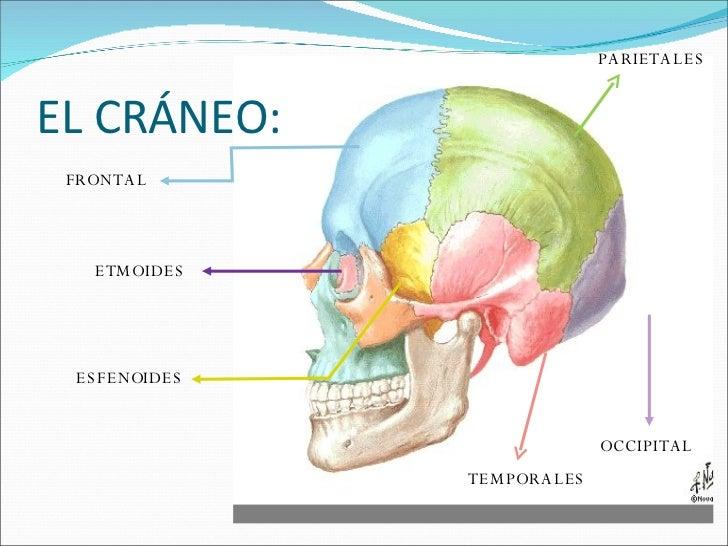 el-craneo-3-728.jpg?cb=1219434904
