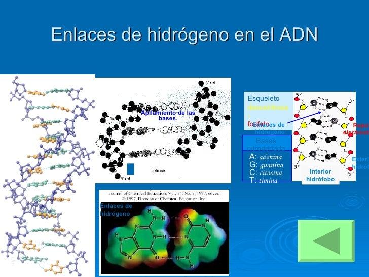 Enlaces de hidrógeno en el ADN Apilamiento de las bases. Enlaces de hidrógeno Interior hidrófobo Esqueleto   desoxiribosa-...