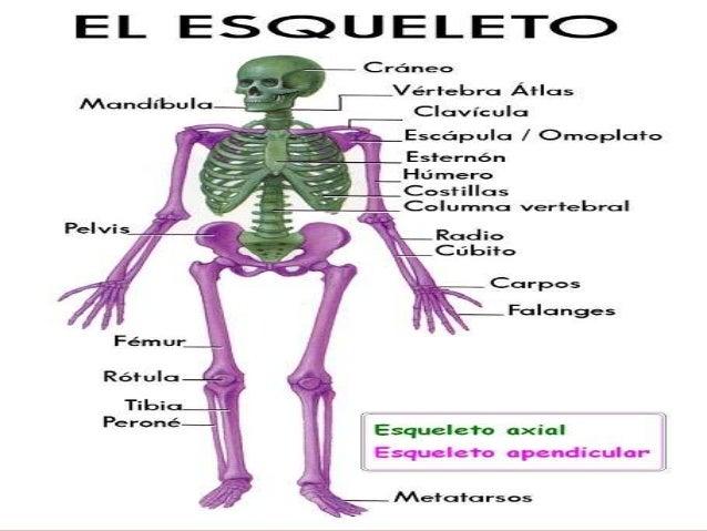 El esqueleto-humano