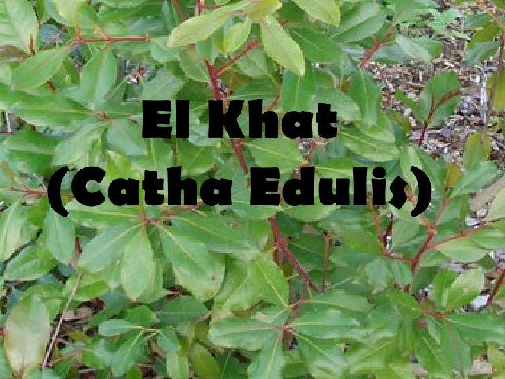El Khat (Catha Edulis)