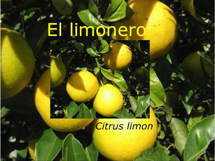 El limonero Citrus limon