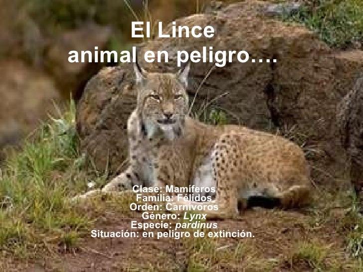 El Lince animal en peligro…. Clase: Mamíferos Familia: Félidos Orden: Carnívoros Género:  Lynx Especie:  pardinus Situació...