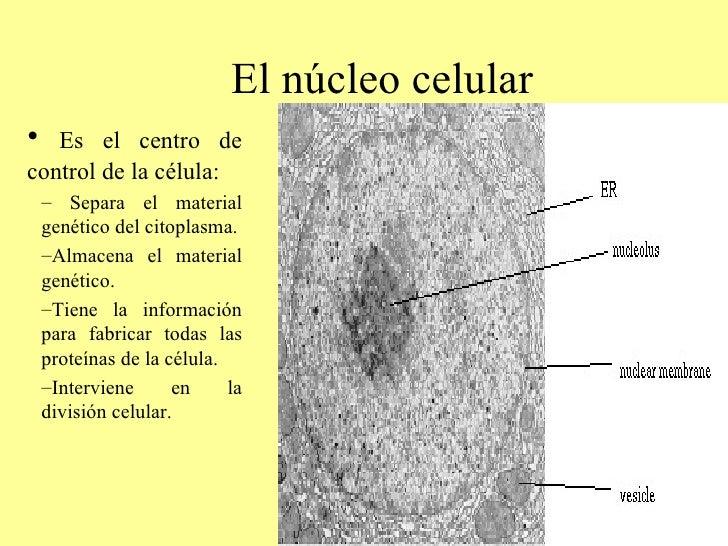 El núcleo celular <ul><li>Es el centro de control de la célula: </li></ul><ul><ul><li>Separa el material genético del cito...