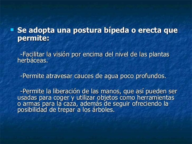 <ul><li>Se adopta una postura bípeda o erecta que permite: </li></ul><ul><li>-Facilitar la visión por encima del nivel de ...
