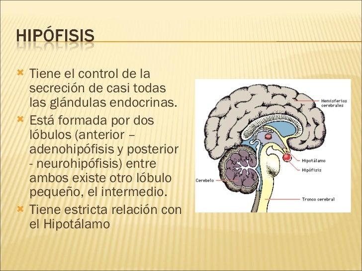 <ul><li>Tiene el control de la secreción de casi todas las glándulas endocrinas. </li></ul><ul><li>Está formada por dos ló...