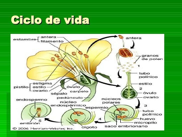 el ciclo de vida del girasol