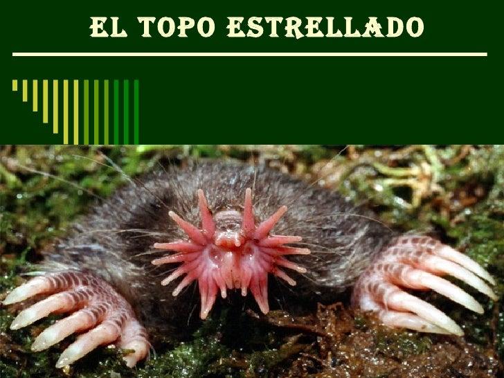 EL TOPO ESTRELLADO