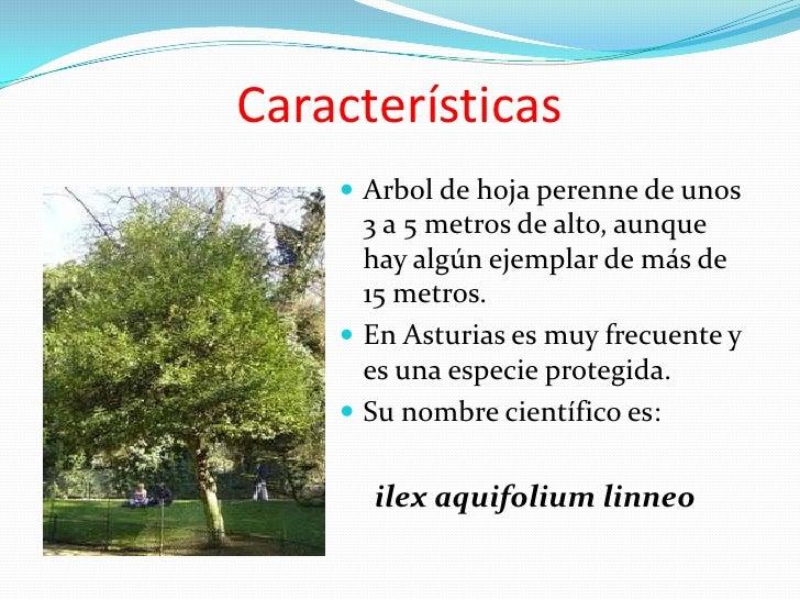 El acebo for Caracteristicas de arboles frondosos