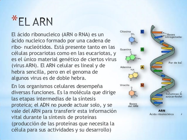 Image result for el ADN como el ARN.