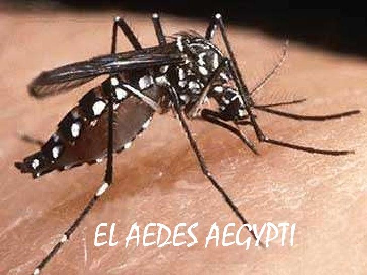 EL AEDES AEGYPTI<br />