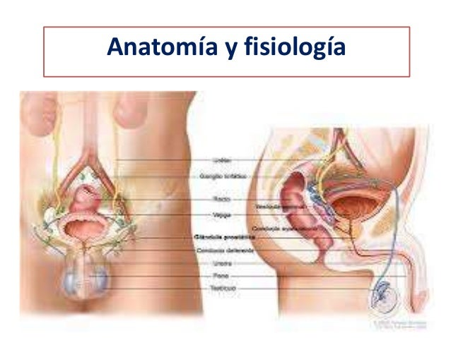 El ano, el recto y la próstata