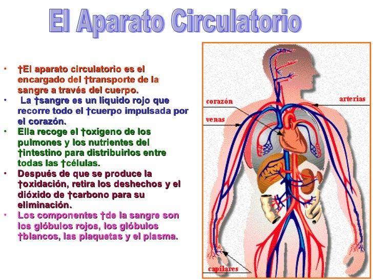 elaparatocirculatorio2728jpgcb1260156712