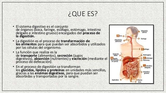 ¿QUE ES? • El sistema digestivo es el conjunto de órganos (boca, faringe, esófago, estómago, intestino delgado e intestino...