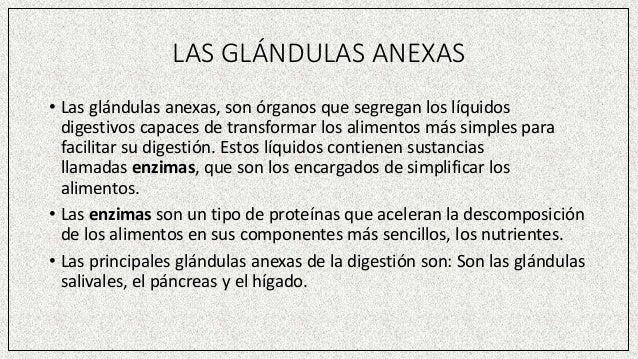 LAS GLÁNDULAS ANEXAS • Las glándulas anexas, son órganos que segregan los líquidos digestivos capaces de transformar los a...
