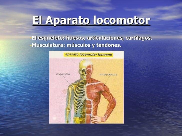 El Aparato locomotor <ul><li>El esqueleto: huesos, articulaciones, cartílagos. </li></ul><ul><li>Musculatura: músculos y t...